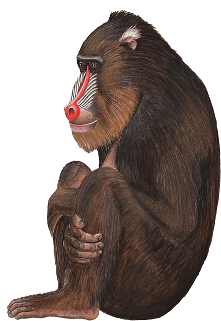 Baboon Png PNG Image