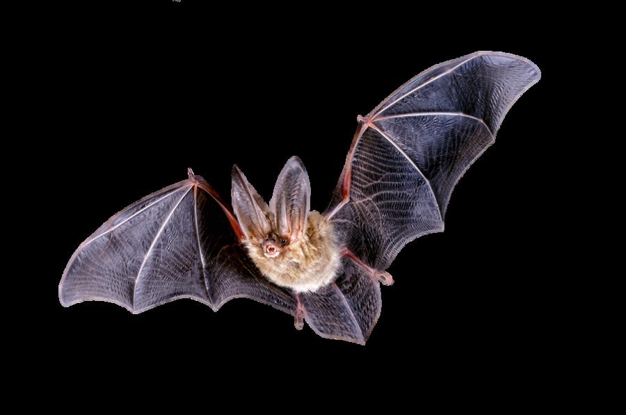 Bat real. Download png clipart hq