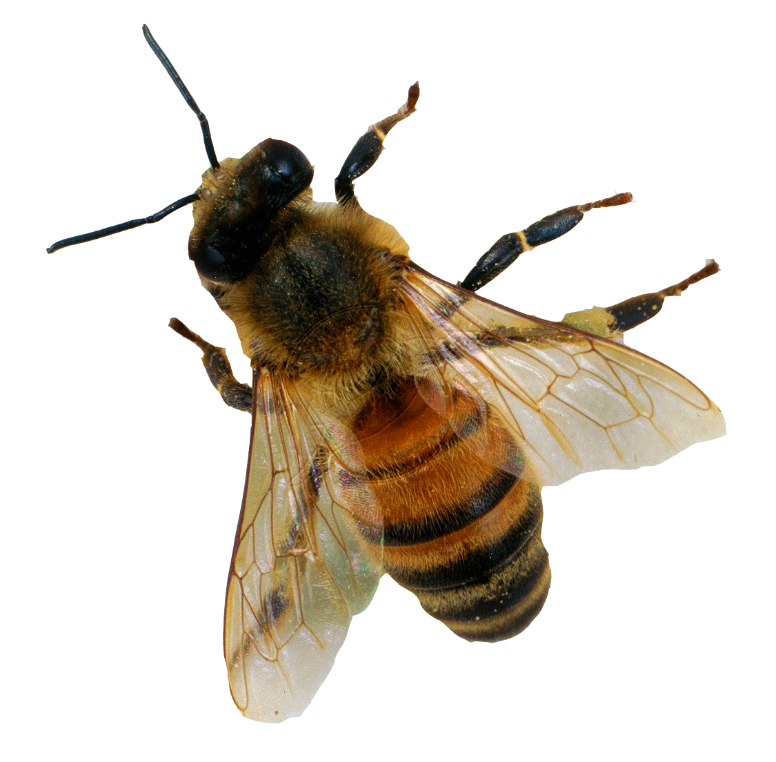 Download Bee Png 6 Hq Png Image Freepngimg