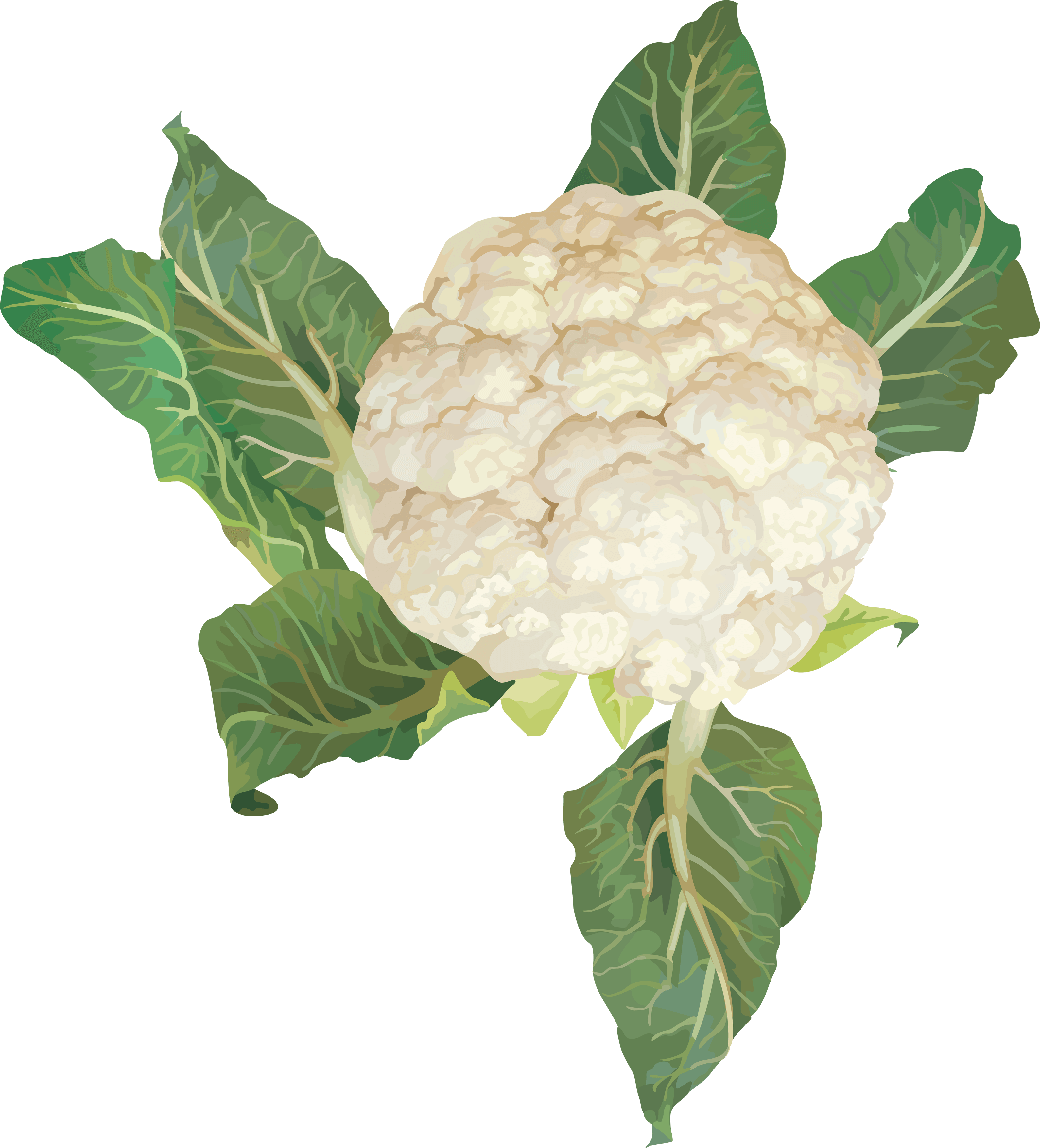 Cauliflower Png Image PNG Image