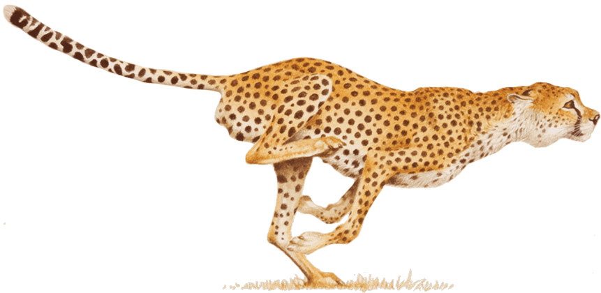 Download Cheetah Transparent Hq Png Image Freepngimg