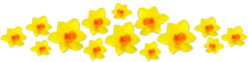 Daffodils Png Image PNG Image