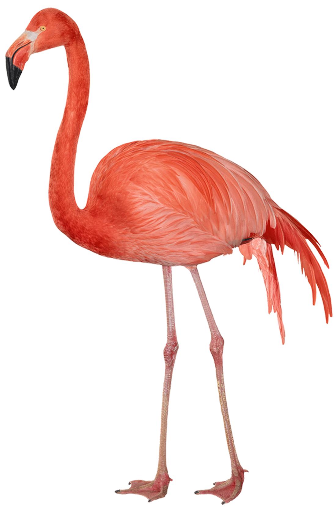 download flamingo free png image hq png image freepngimg