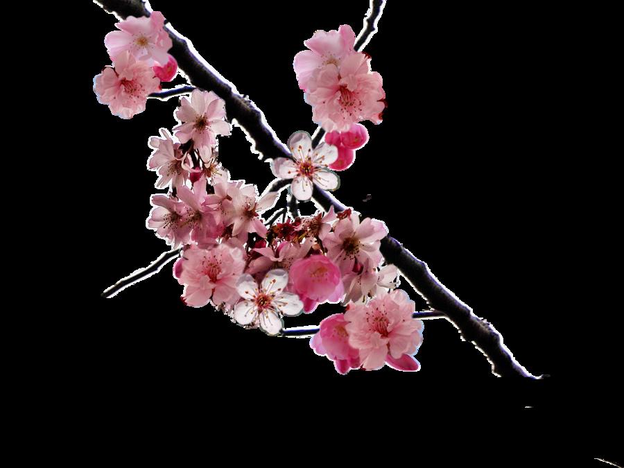 Download Cherry Blossom HQ PNG Image | FreePNGImg