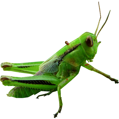 Grasshopper Transparent PNG Image
