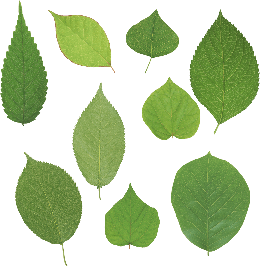 Green Leaves Picture Png PNG Image