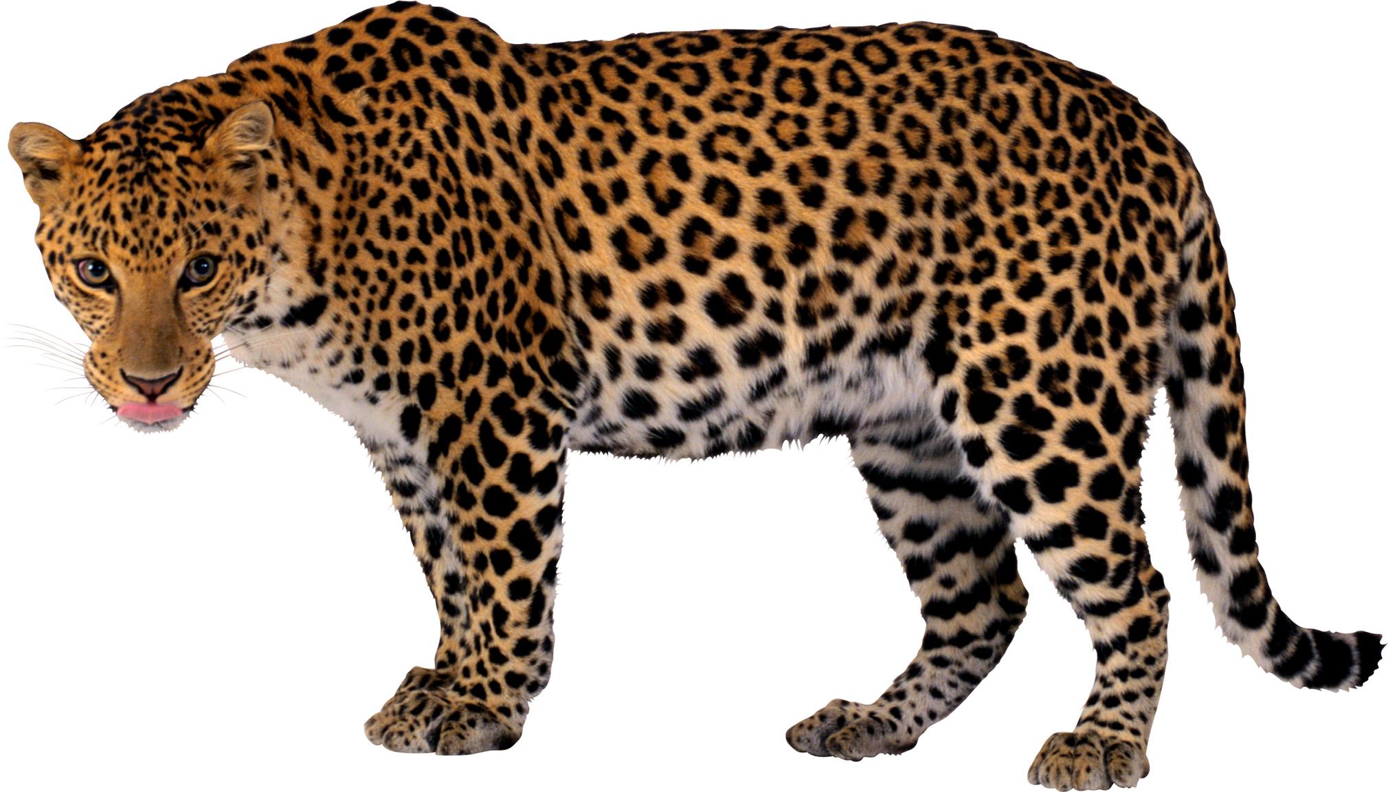 Leopard images download