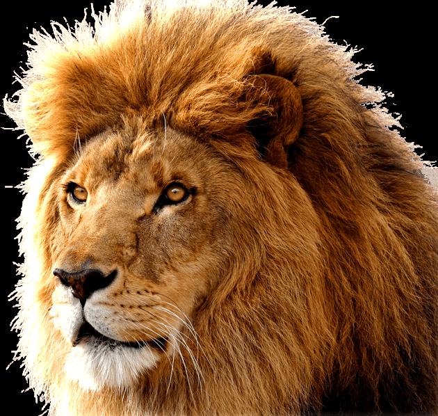 danger lion video