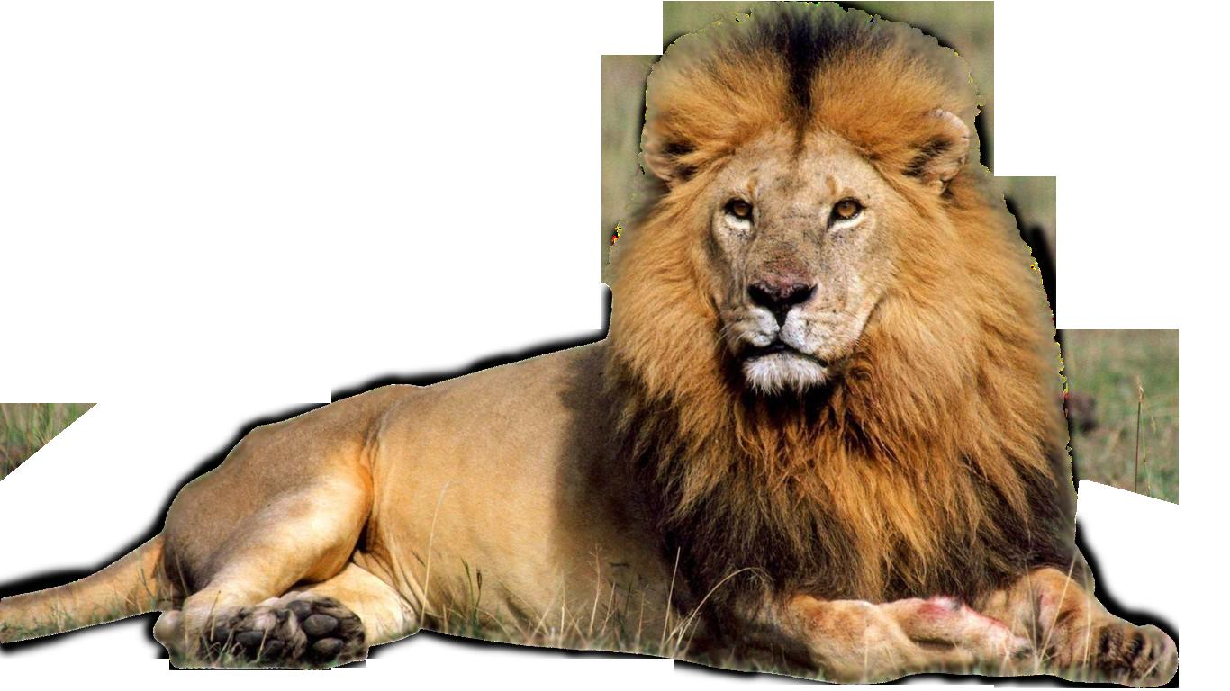 Save the lion | OMPE | Organisation Mondiale pour la Protection de ...