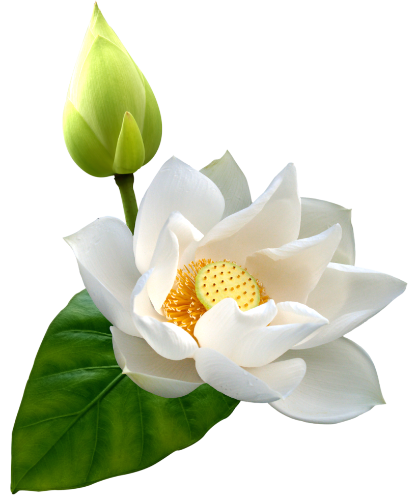 Download Lotus Hd Hq Png Image Freepngimg