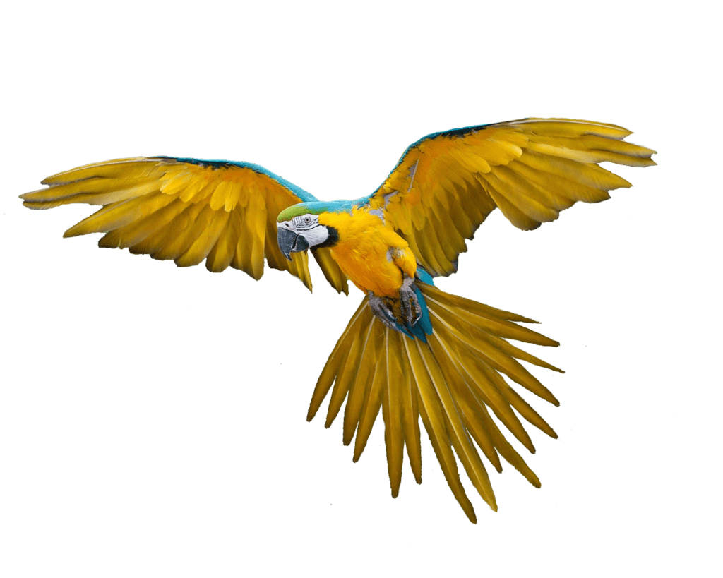 Flying Parrot Png Images Download PNG Image