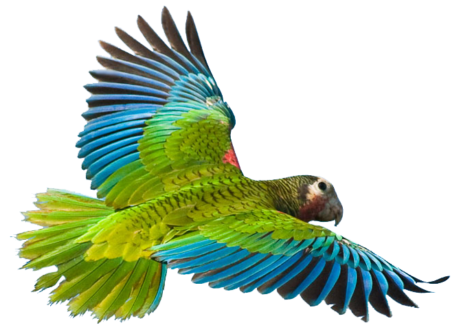 Flying Parrot Image PNG Image
