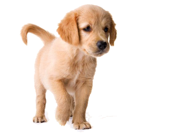 golden retriever puppy image hq png image