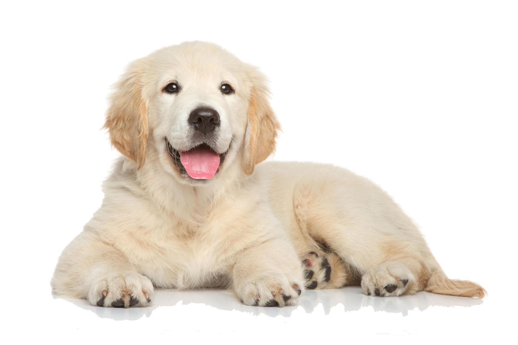 golden retriever puppy file hq png image freepngimg