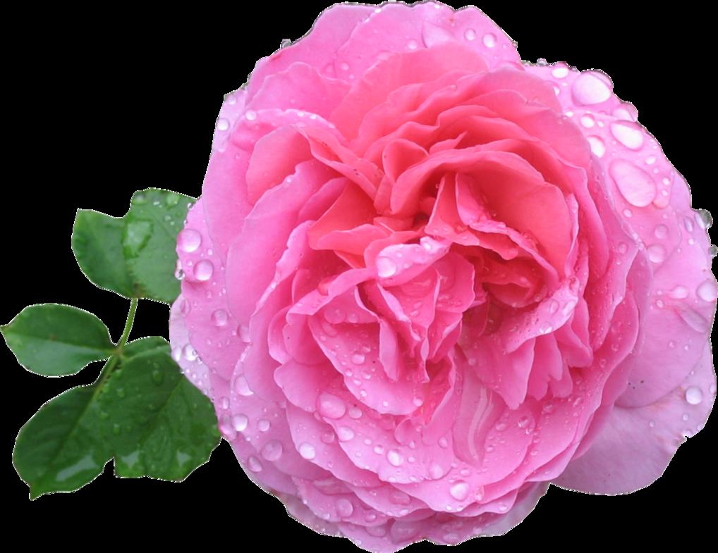 Download Pink Rose Hd HQ PNG Image