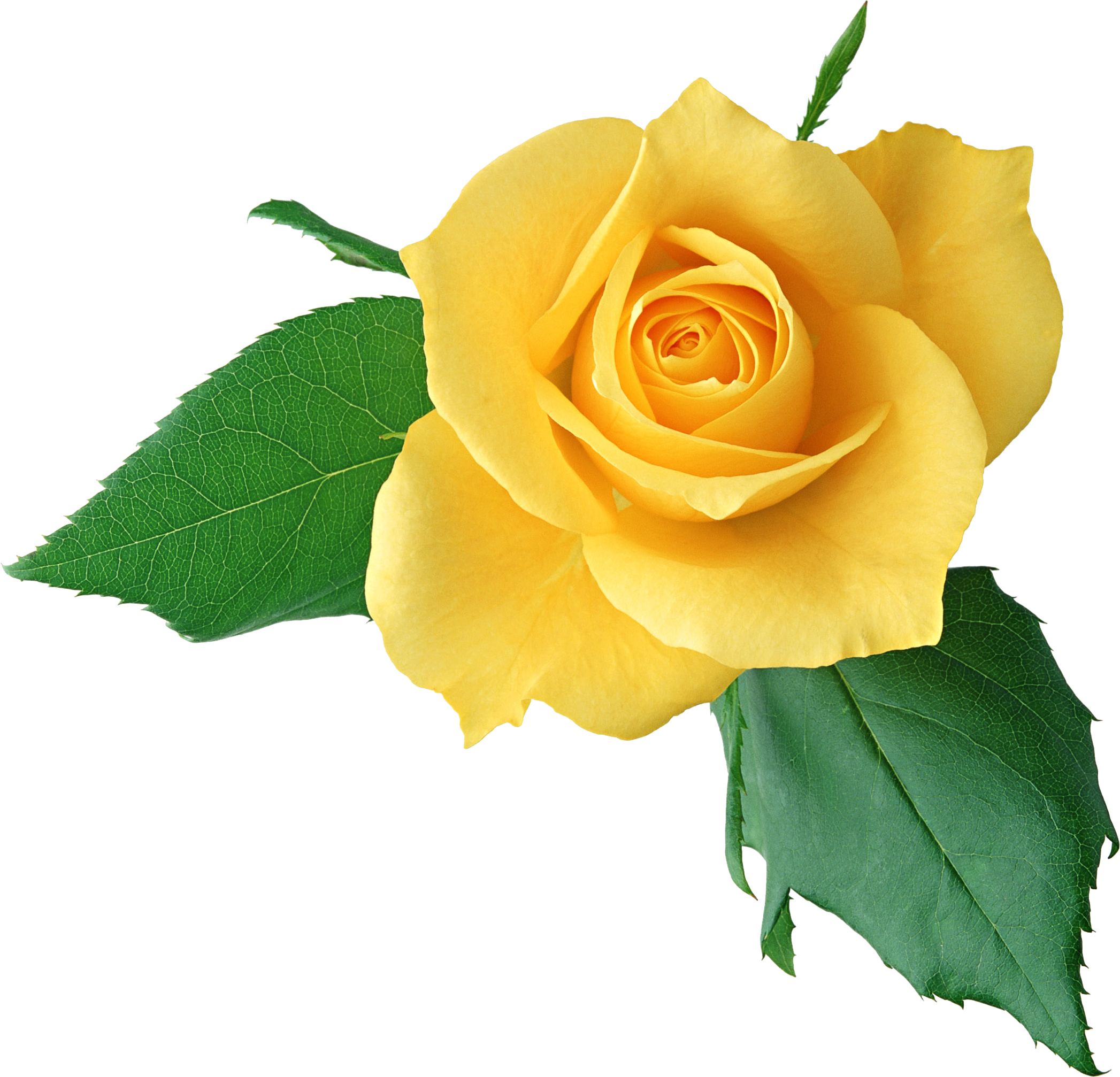 download yellow rose clipart hq png image freepngimg rh freepngimg com clipart of a single yellow rose yellow tea rose clip art