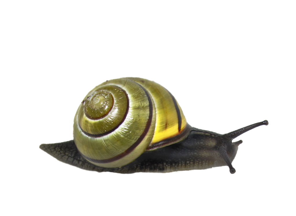 Snail Png Clipart PNG Image
