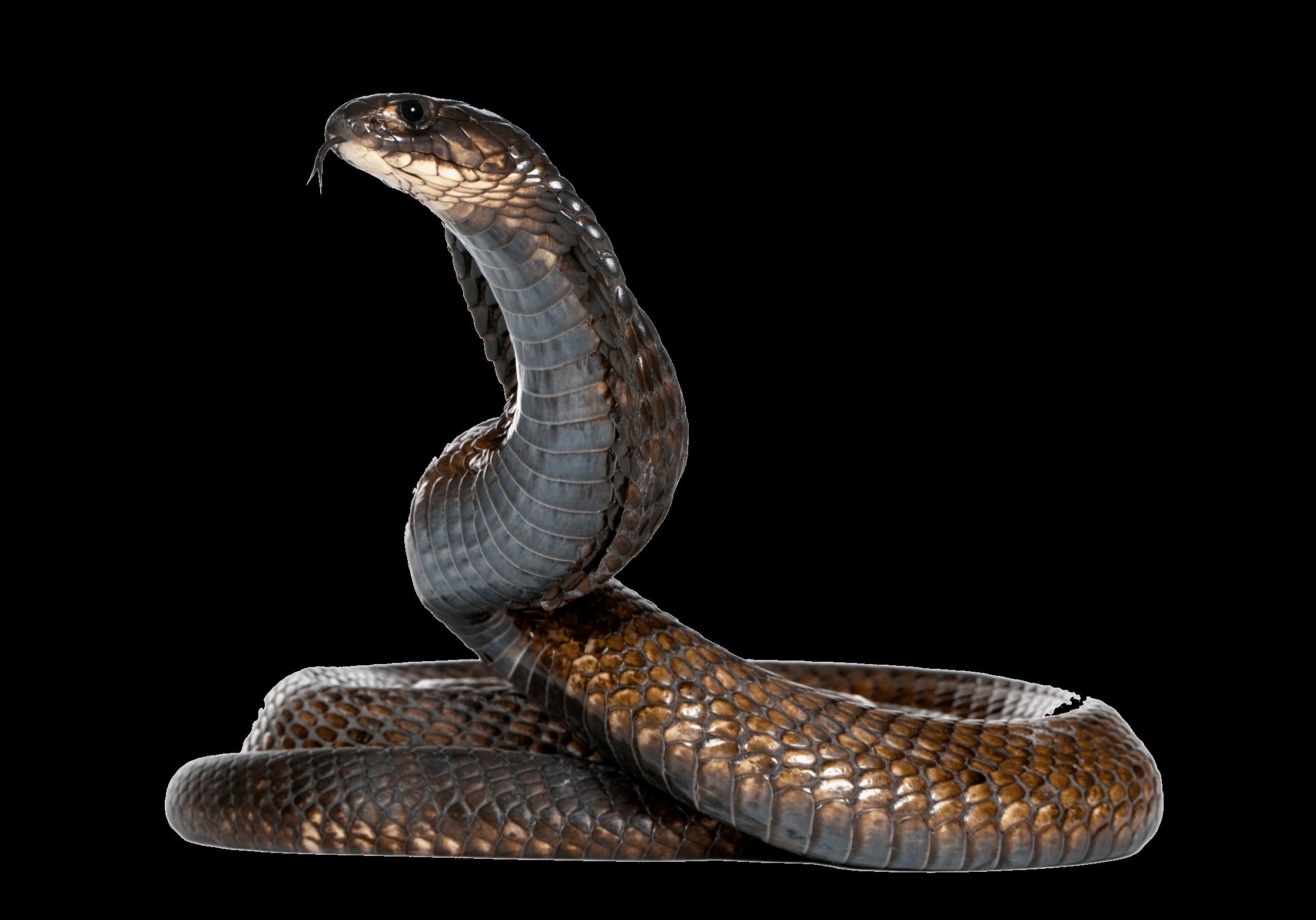 download cobra snake png image hq png image freepngimg snacks cliparts snake clipart free