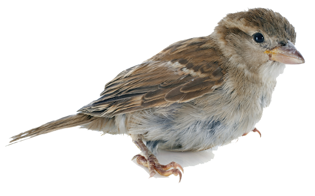 Sparrow Picture PNG Image