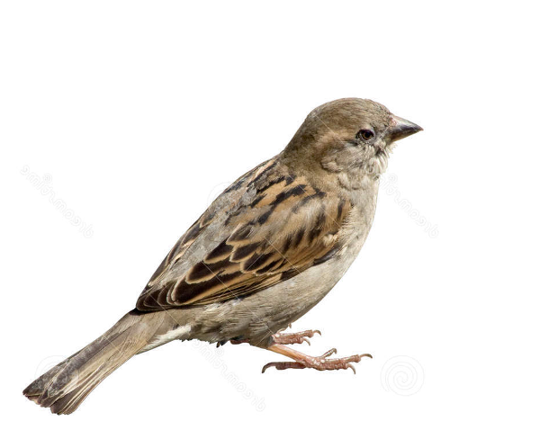 Sparrow Png PNG Image