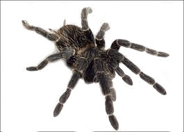 Spider Png Image PNG Image