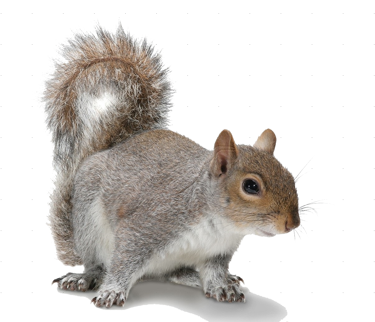 download squirrel picture hq png image freepngimg squirrel clipart black and white squirrel clipart with no background