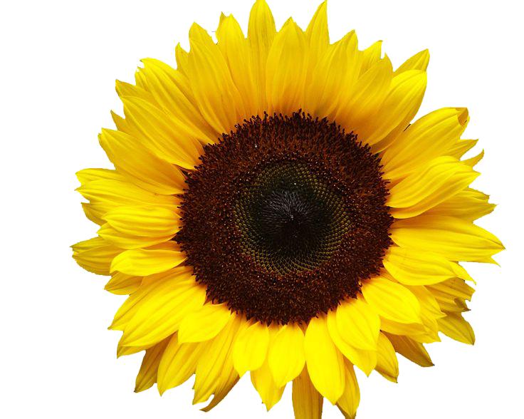 download sunflowers png image hq png image freepngimg goat clip art outline goat clip art outline