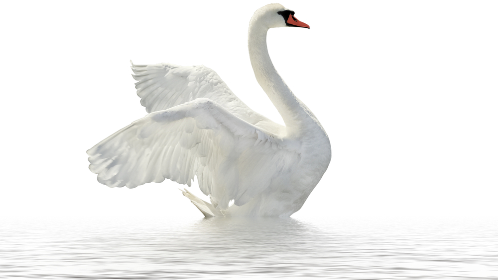 Download Swan Free Download Png Hq Png Image Freepngimg