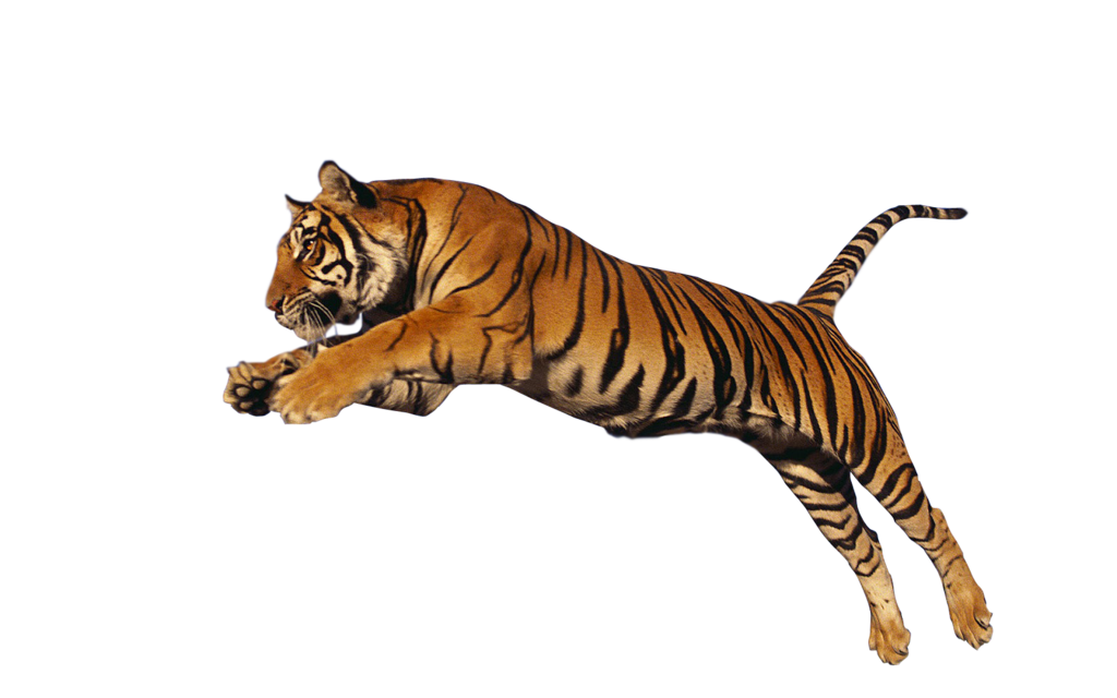17481 Tiger Png Hd on Fish Clip Art With Transparent Background