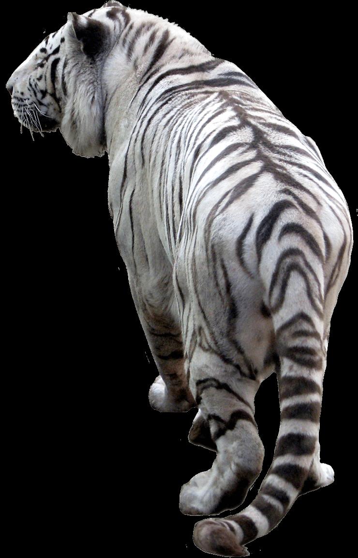 Download Tiger Png Image Download Tigers HQ PNG Image ...