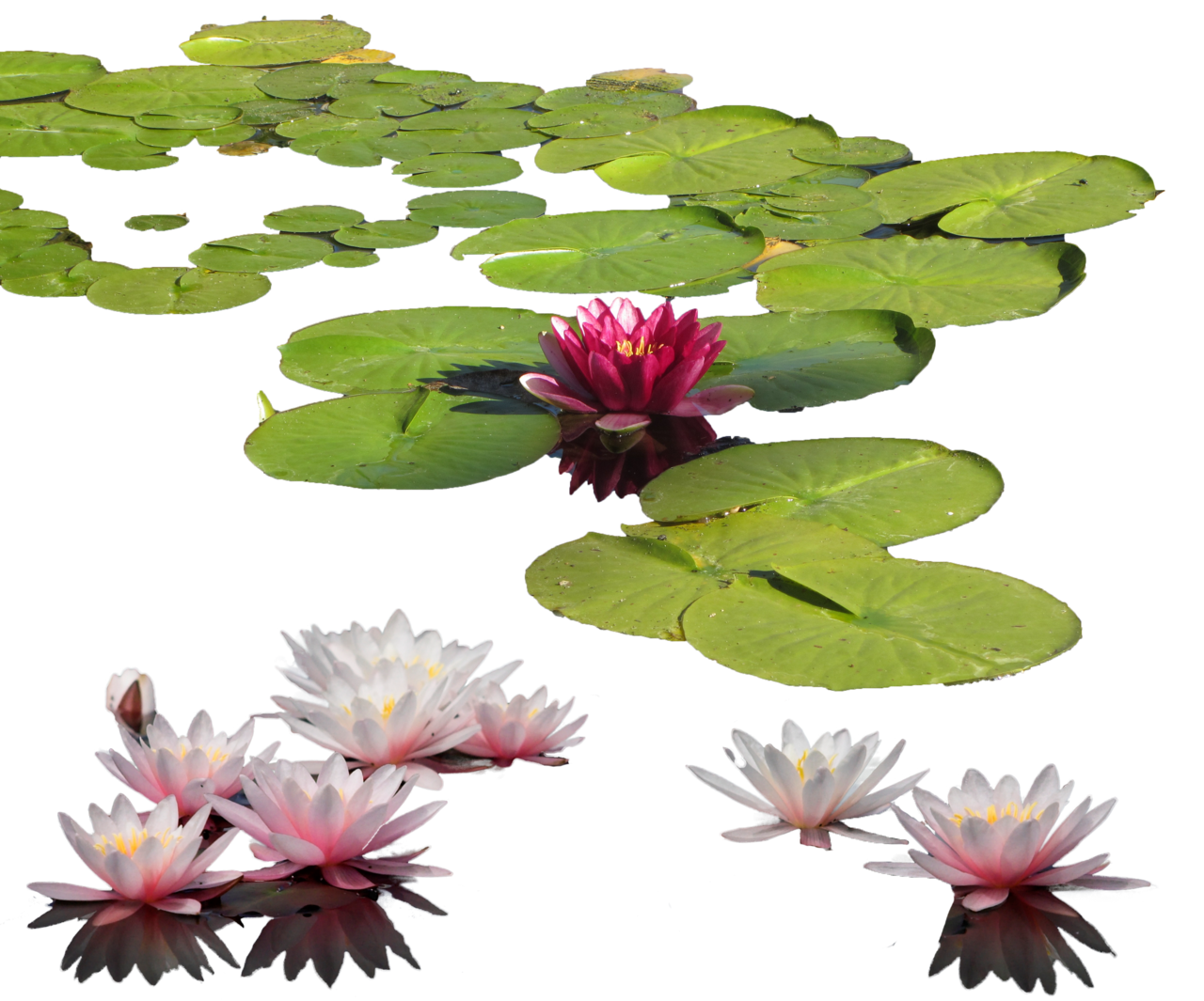 Water Lily Png Clipart PNG Image