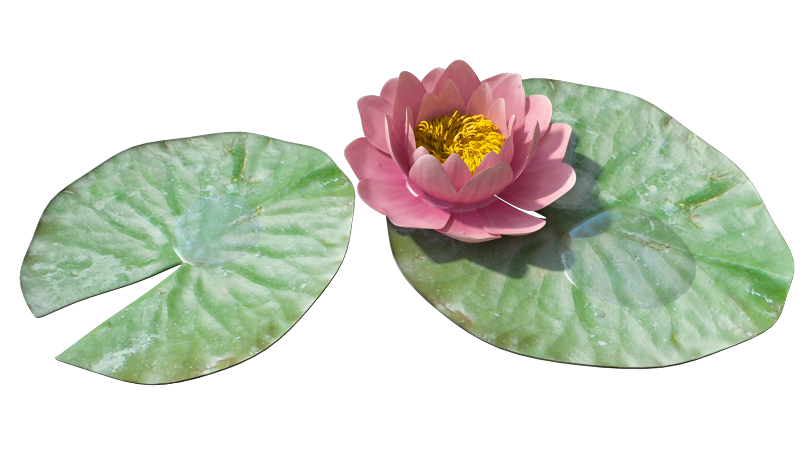 Download Water Lily Png Image Hq Png Image Freepngimg