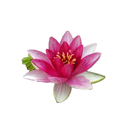 Download Water Lily Png File Hq Png Image Freepngimg