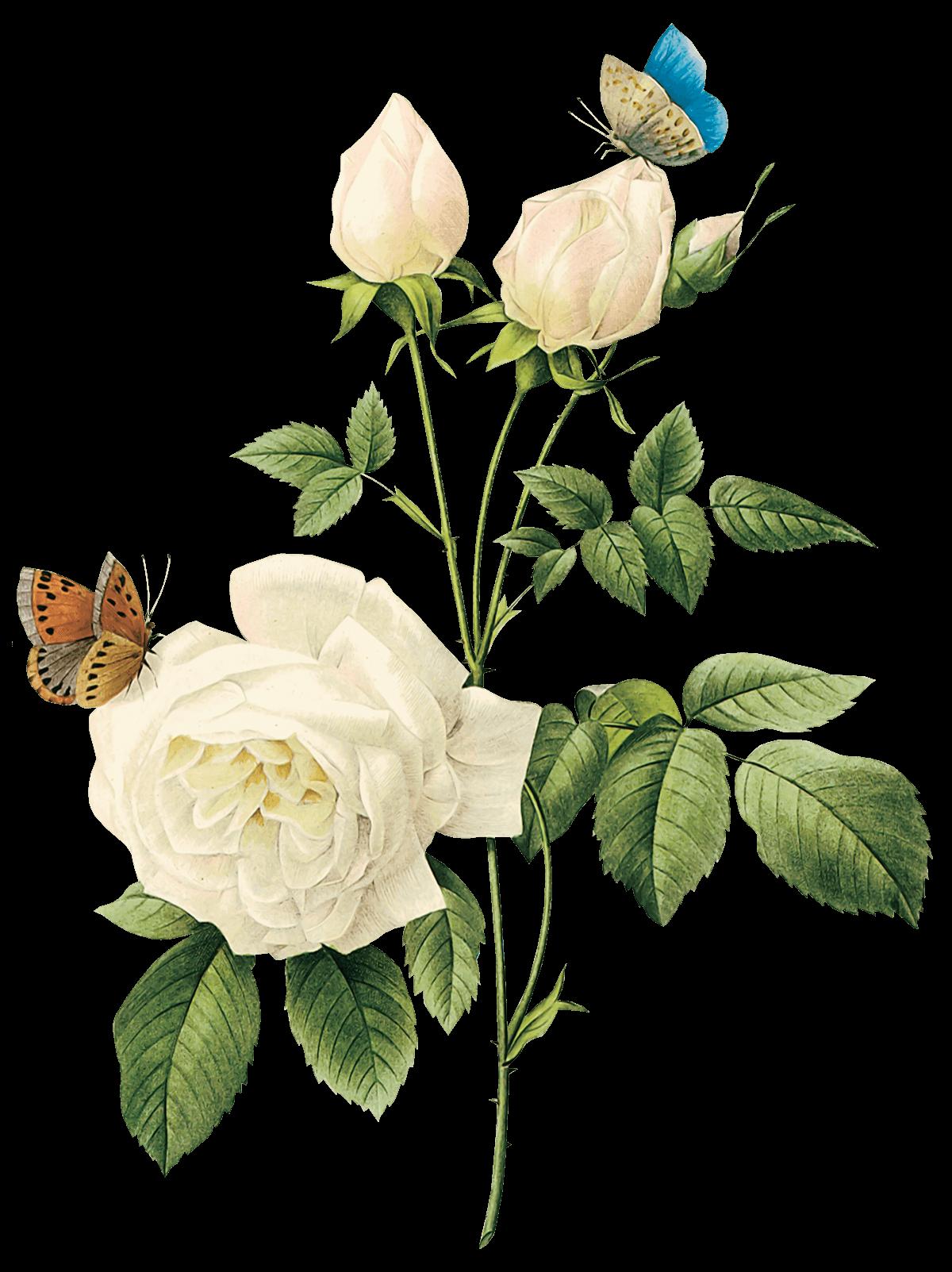 Download free white rose png image flower white rose png picture white rose png image flower white rose png picture png image mightylinksfo
