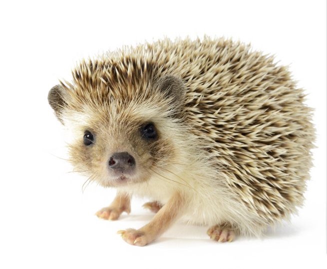 Porcupine North Four Toed African Fur Hedgehog PNG Image