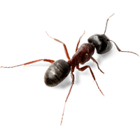Ant Png Picture PNG Image