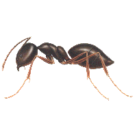 Ant (1) PNG Image