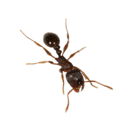 Ant Png File PNG Image