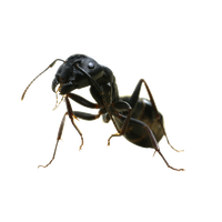 Ant Free Png Image PNG Image