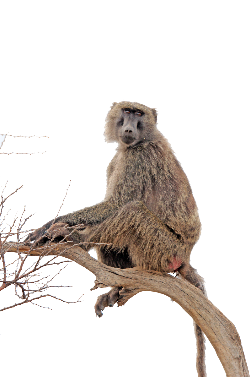Baboon Transparent PNG Image