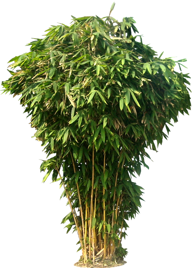 Bamboo Picture PNG Image
