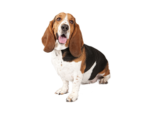 Basset Hound Png Clipart PNG Image