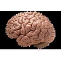 download brain free png photo images and clipart freepngimg rh freepngimg com