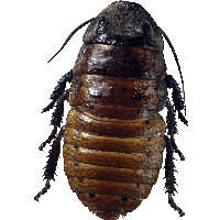 Roach Bug Png Image PNG Image
