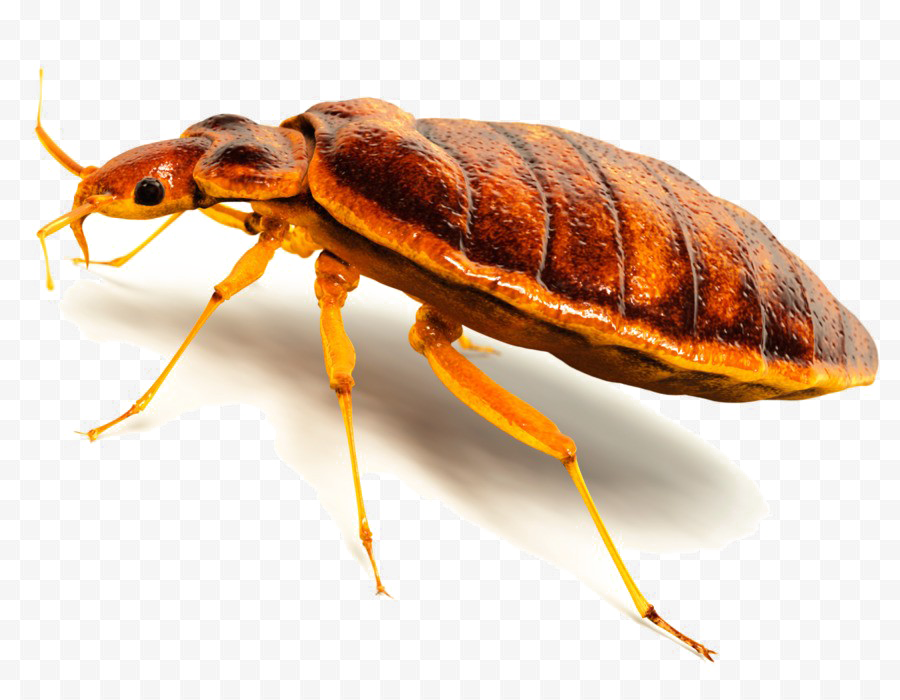 Bed Bug PNG Image High Quality PNG Image