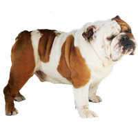 Bulldog Transparent PNG Image