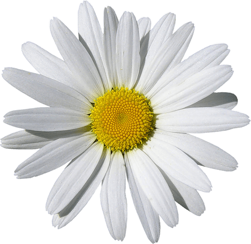 Camomile Png Image PNG Image