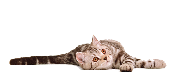 Cat Png 12 PNG Image