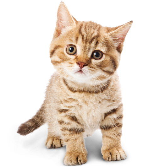 Adorable Cat PNG Image