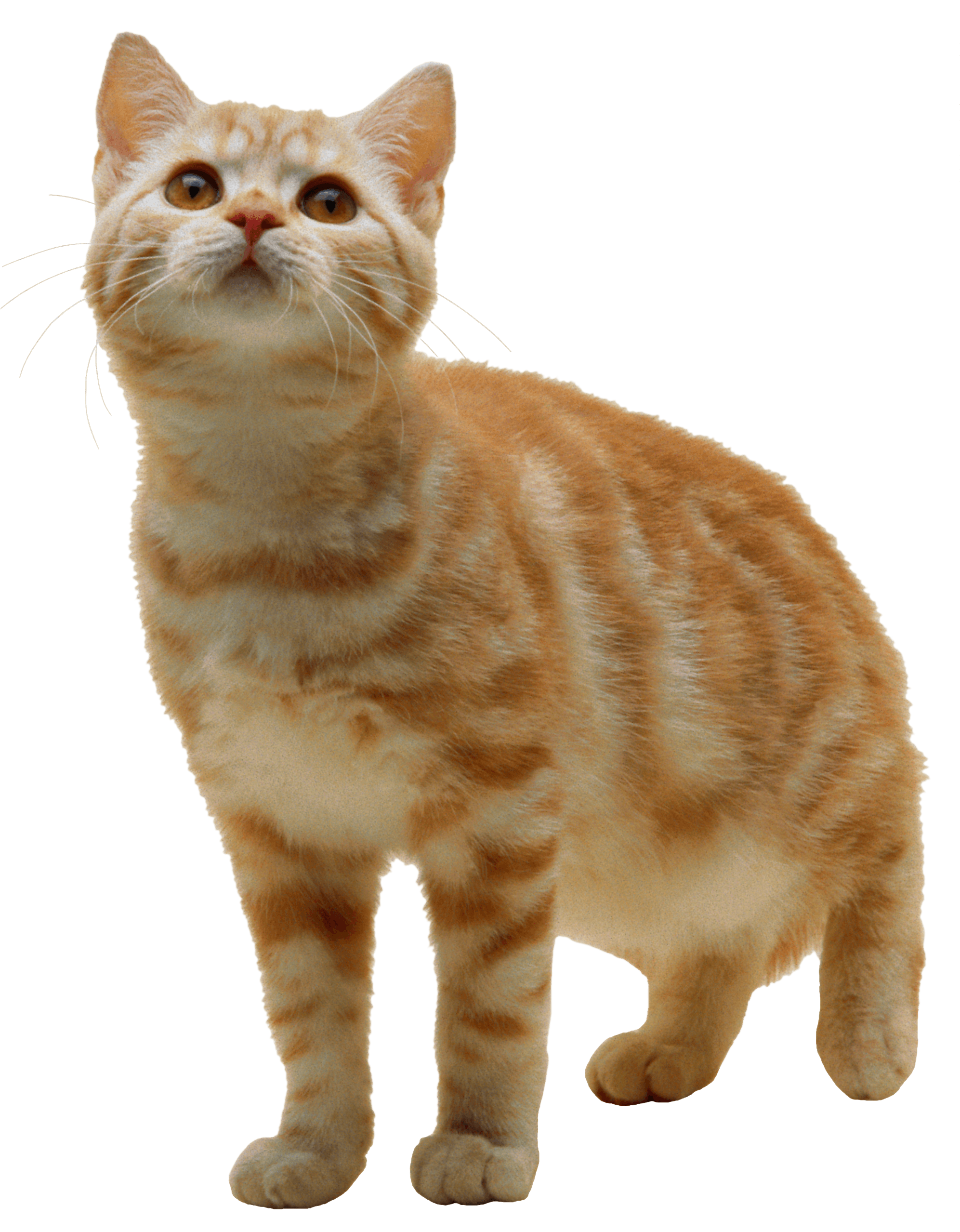 Cat Png Image Download Picture Kitten PNG Image